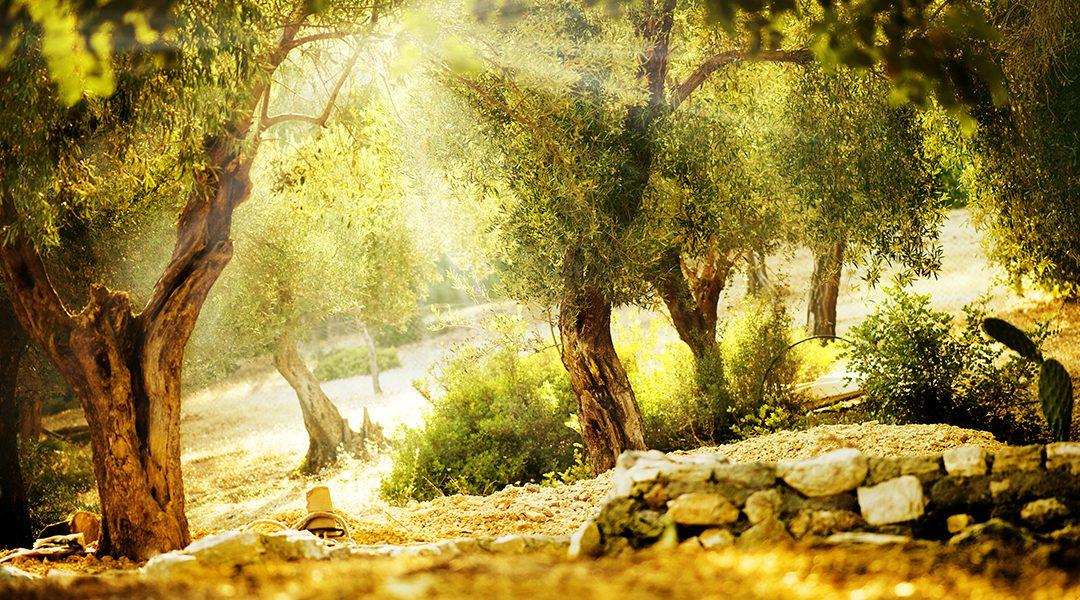Mediterranes Gold – Olivenöl in der Geschichte