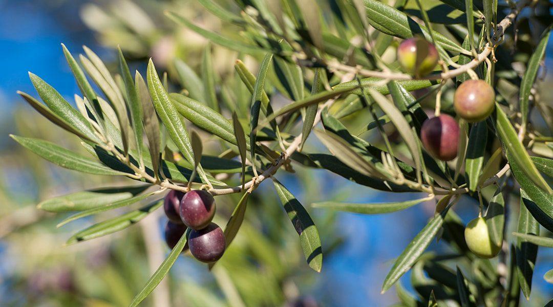 So wird aus der Olive das Olivenöl